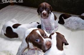 Foto 3 Französischer Vorstehhund Kurzhaar Typ Pyrenäen