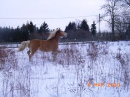 Foto 10 Freizeitpferd - Haflinger zu verkaufen