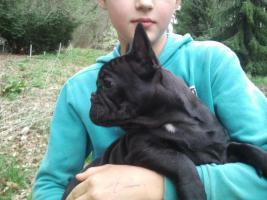 French Bulldog Welpe lackschwarz (beide Eltern schoko), freiatmend