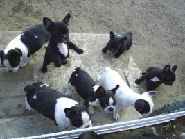 Foto 3 French Bullywelpen, Französische Bulldoggen-Welpen