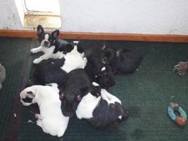 Foto 5 French Bullywelpen, Französische Bulldoggen-Welpen