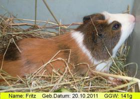 Fritz, das peruanische Riesenmeerschweinchen (  CUY  )