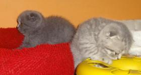 Foto 4 Fünf Süße scottish fold Kitten, suchen ab sofort ein liebevolles Zuhause