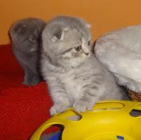 Foto 5 Fünf Süße scottish fold Kitten, suchen ab sofort ein liebevolles Zuhause