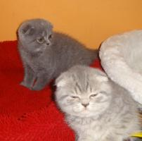 Foto 6 Fünf Süße scottish fold Kitten, suchen ab sofort ein liebevolles Zuhause