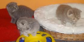 Foto 7 Fünf Süße scottish fold Kitten, suchen ab sofort ein liebevolles Zuhause