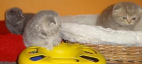 Foto 8 Fünf Süße scottish fold Kitten, suchen ab sofort ein liebevolles Zuhause
