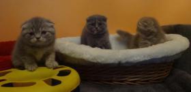 Foto 9 Fünf Süße scottish fold Kitten, suchen ab sofort ein liebevolles Zuhause