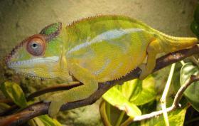 Furcifer Pardalis (Nosy Mitsio) Männlich