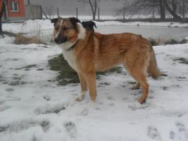 Ganz lieber colli-Schäferhund-Mix sucht liebevolles zu Hause