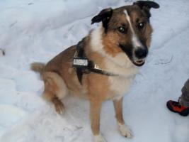 Foto 2 Ganz lieber colli-Schäferhund-Mix sucht liebevolles zu Hause