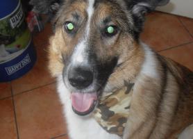 Foto 3 Ganz lieber colli-Schäferhund-Mix sucht liebevolles zu Hause
