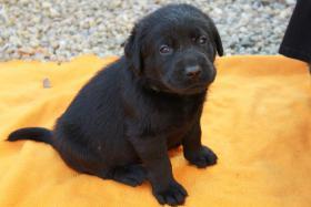 Foto 2 Ganz tolle Labrador Welpen aus liebevoller Familienzucht!