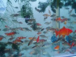 Gartenteich Fische, Goldfisch und Schibunkis