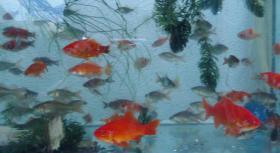 Foto 2 Gartenteich Fische, Goldfisch und Schibunkis