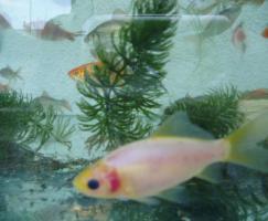 Foto 3 Gartenteich Fische, Goldfisch und Schibunkis