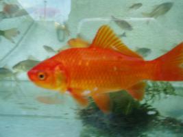 Foto 5 Gartenteich Fische, Goldfisch und Schibunkis