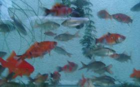 Foto 6 Gartenteich Fische, Goldfisch und Schibunkis