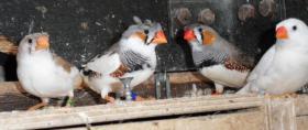 Foto 3 Gebe Zebrafinken ab