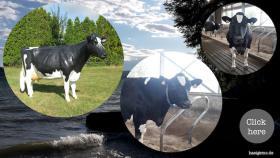Foto 6 Geh mal in den Kuhstall … und seh Dir ne Holstein Kuh an ...