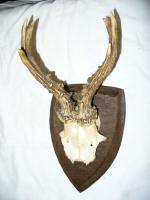 Foto 3 Gehörne vom Rehbock