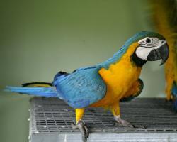 Gelbbrustara Papagei