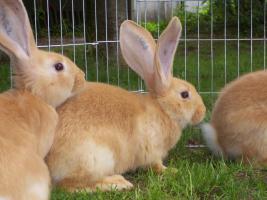 Gelbe Deutsche Riesen Kaninchen !!