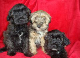 Gesunde, süße Tibet Terrier Welpen ( Rüden/Hündin) suchen liebes Zuhause