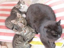 Getigerte Kätzchen abzugeben