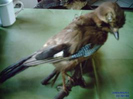 Foto 4 Geweihe u. Tierpräparate