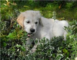 Foto 2 Golden Retriever-Babys