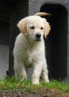 Foto 3 Golden Retriever-Babys