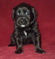 Foto 3 Golden Retriever/Labrador Welpen