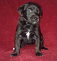 Foto 4 Golden Retriever/Labrador Welpen