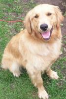 Golden Retriever Rüde 1 Jahr alt