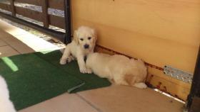 Foto 2 Golden Retriever Welpen suchen ein Zuhause!