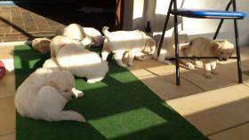 Foto 4 Golden Retriever Welpen suchen ein Zuhause!