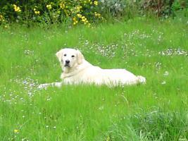Foto 2 Golden Retriever ca. 1 1/2 Jahre alt