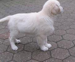 Foto 4 Golden Retriever - 2 Jungs. Mehr auf www.golden-retriever-elmpt.de