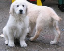 Foto 14 Golden Retriever - 2 Jungs. Mehr auf www.golden-retriever-elmpt.de