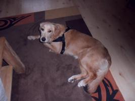 Foto 2 Golden Retriever ( 9 Monate alt)