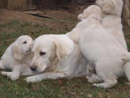 Foto 2 Golden Retriever - Welpen mit Pedigree