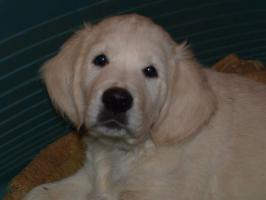 Foto 4 Golden Retriever - Welpen mit Pedigree