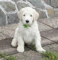 Goldendoodle - bester Familienhund!