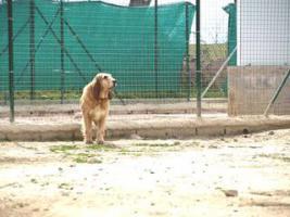 Foto 8 Grand Basset Griffon Vendéen - Mischling SAKI sucht ein Zuhause oder PS
