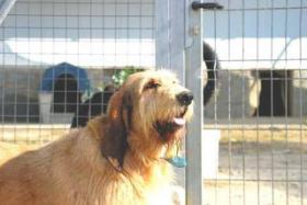 Foto 10 Grand Basset Griffon Vendéen - Mischling SAKI sucht ein Zuhause oder PS
