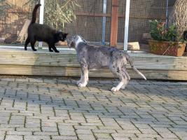 Foto 3 Grautiger / Manteldogge