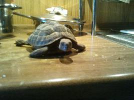 Foto 3 Griechische Landschildkröten