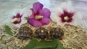 Griechische Landschildkröten THB u. THH