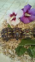 Foto 2 Griechische Landschildkröten THB u. THH